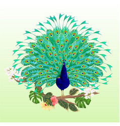 peacock beauty tropical bird on branch vector image