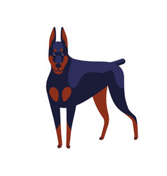 strong colored doberman pinscher dog breed vector image