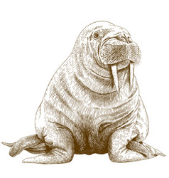 Engraving of walrus vector