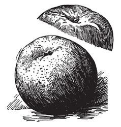 York imperial apple vintage vector