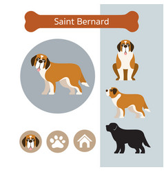 Saint bernard dog breed infographic vector