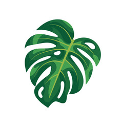 Tropical palm leaves monstera isolated on white vector