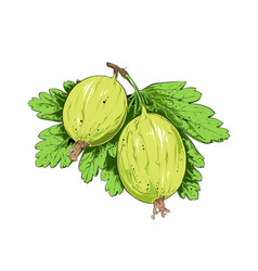 hand drawn sketch gooseberry in color isolated vector image