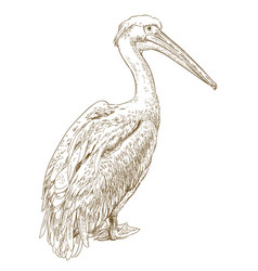 engraving of pelican vector image