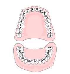 Teeth numbering vector image vector image