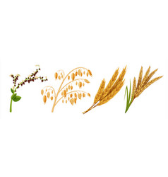 realistic cereals oat wheat rice and barley ears vector image