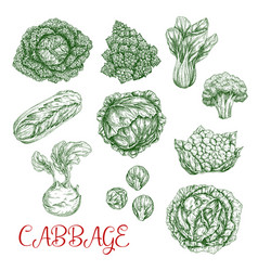 cabbage sketch icons of vegetables vector image