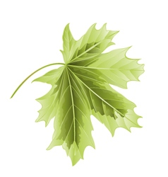 Leaf Maple on a white background vector image