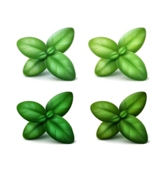 Set of Green Fresh Basil Leaves Isolated vector image