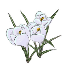 Snowdrops hand draw of flower vector