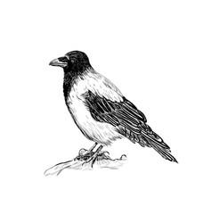 raven skech bird crows vector image