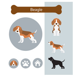 beagle dog breed infographic vector image