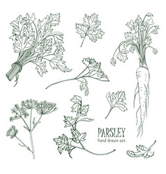 Parsley set hand drawn contour collection with vector