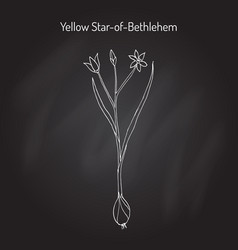 Yellow star-of-bethlehem gagea lutea flowering vector