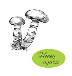 honey agaric drawing vector image