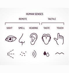 five basic human senses vector image