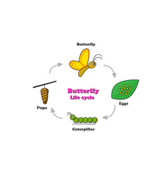 butterfly life cycle in colorful style vector image