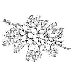 plumeria flowers coloring book vector image