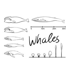 silhouettes of whaleblue whale isolated black and vector image