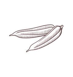 drawing okra vector image