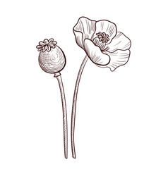 Drawing poppy plant vector