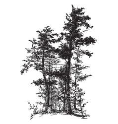 Hemlock spruce vintage vector