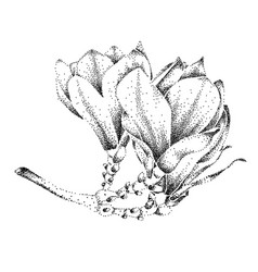 magnolia flower drawing sketch vector image