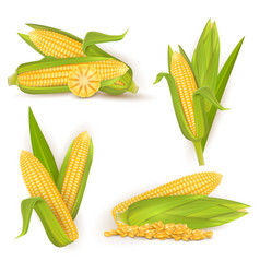 Realistic sweet corn set isolated vector