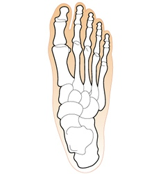 Bones of a human foot vector
