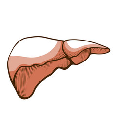 liver anatomical hand drawn icon prevention and vector image