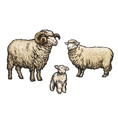 White sheep isolated vector image