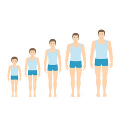mans body proportions changing with age vector image