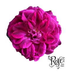 Purple ros bud vector