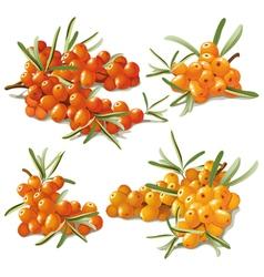 set of ripe sandthorn vector image vector image