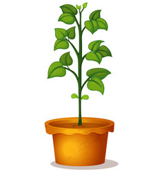 Green bean plant in clay pot on white background vector