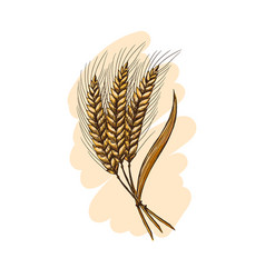 Watercolor ears of wheat vector
