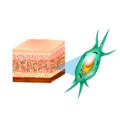 Fibroblast and skin structure vector