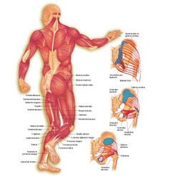 Male body posterior muscles vector image vector image