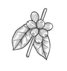 Coffee branch plant vector