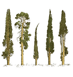 set hand drawn trees italian cypress and pine vector image