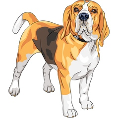 sketch serious dog Beagle breed vector image