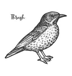 hand drawn thrush or turdidae animal sketch vector image