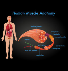 Human muscle anatomy education vector