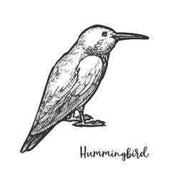 sketch hummingbird or hand drawn colibri bird vector image