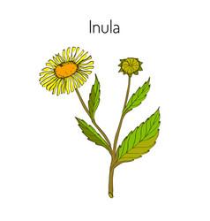 inula vector image