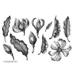 Set hand drawn black and white champak vector