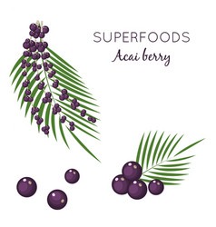 set superfood acai berry branches and leaves vector image