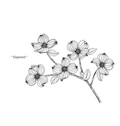 Dogwood flower drawing vector