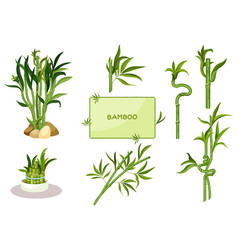 set isolated lucky bamboo with straight stalks vector image