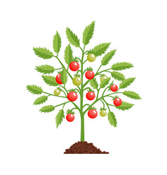 Tomato growth stage plant red fruiting vector